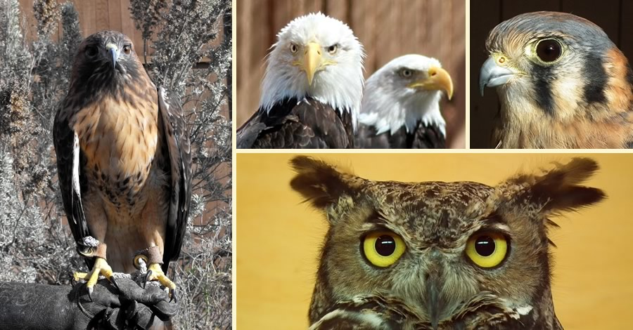 Birds of Prey in the Raptor Interpretive Program