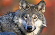 Educational-Tours-Gray-Wolf-1