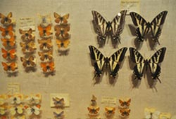 LewisClark-butterflies-1