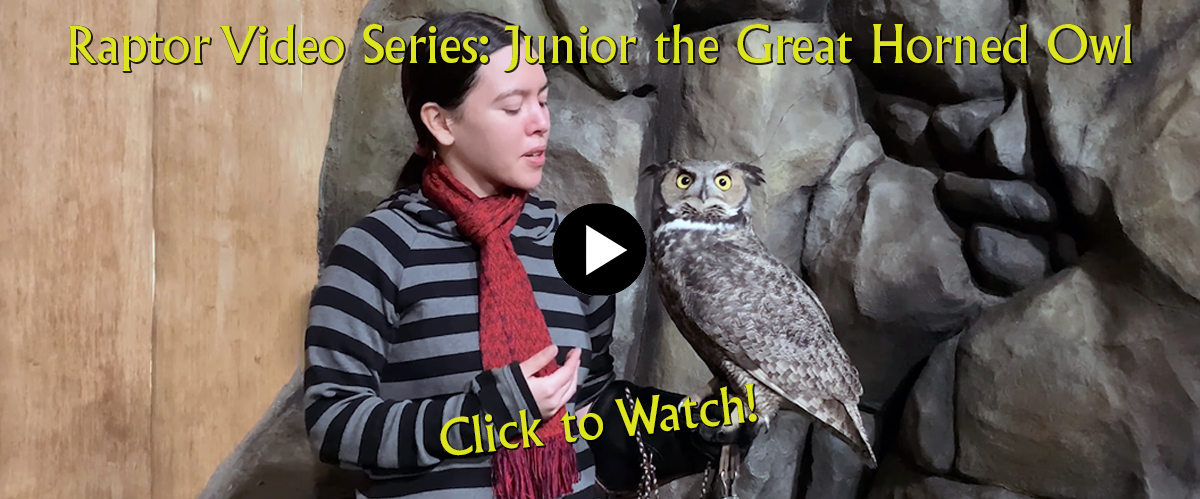Columbia Gorge Discovery Center Junior the Great Horned Owl Video