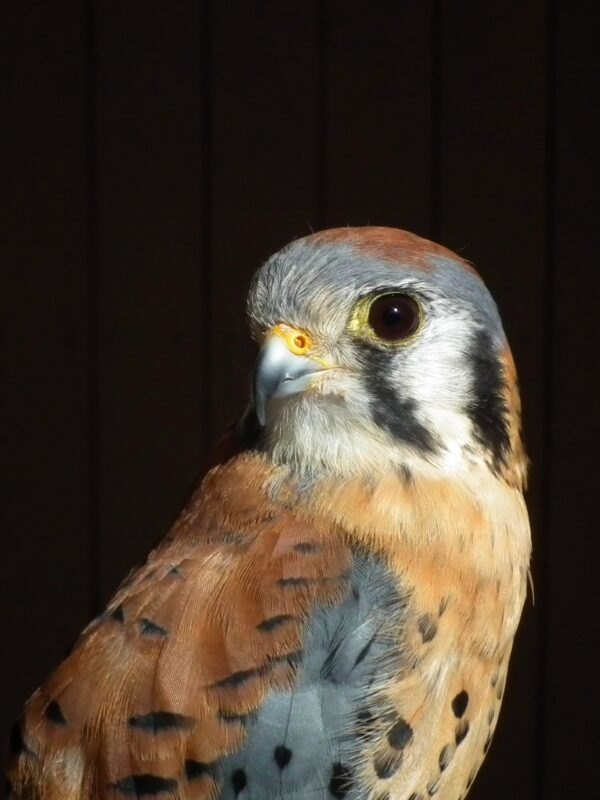 hank the kestrel